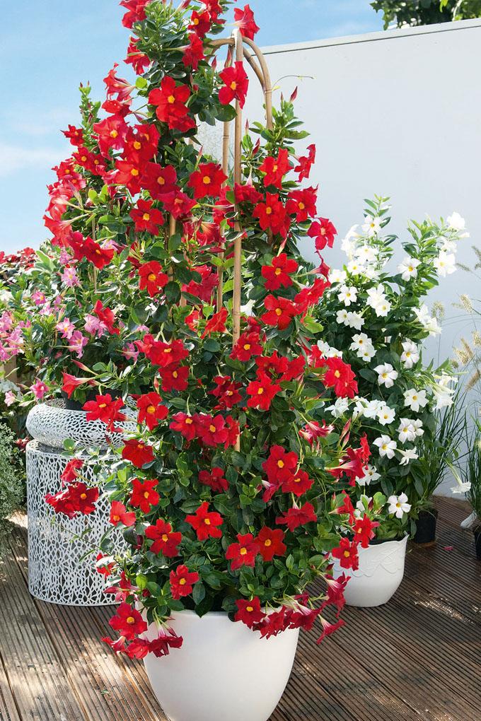 Pflegeleichte balkonpflanzen ganzj hrig balkonpflanzen for Pflegeleichte balkonpflanzen